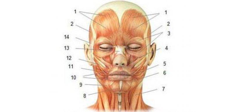 Эстетическая анатомия лица и шеи